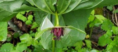 Southern Nodding Trillium (Trillium rugelii) Fruit