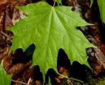 Sugar Maple (Acer saccharum var. saccharum)
