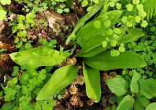 Unknown Leaves - Possibly Clinton's Lily (Clintonia umbellulata)