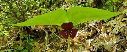 Vasey's Trillium (Trillium vaseyi)
