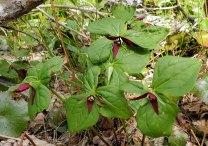 Maroon-colored Wake Robin (Trillium erectum)