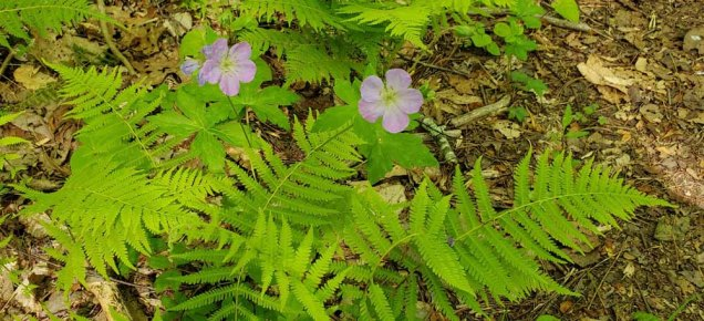 Wild Geranium (Geranium maculatum) & New York Fern (Thelypteris noveboracensis)