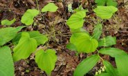 Wild Yam (Dioscorea villosa) Male Flowers