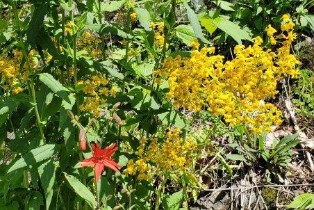 Fire Pink (Silene virginica) & Small's Ragwort (Packera anonyma)
