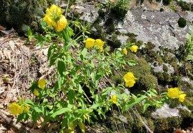 Southern Sundrops (Oenothera fruticosa)