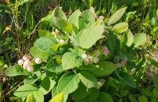 a Blueberry (Vaccinium sp.)