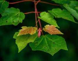 a Maple (Acer sp.)