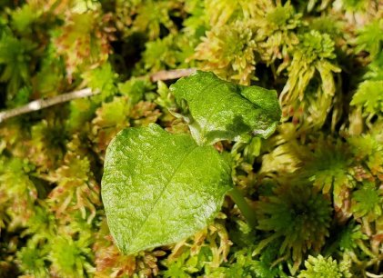 a Twayblade (Neottia sp.)