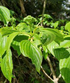 Alternate-leaved Dogwood (Cornus alternifolia)