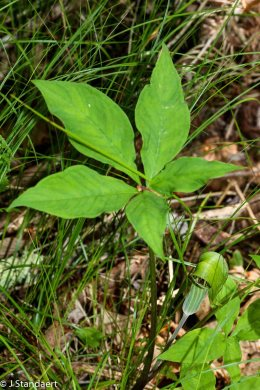 Jack-in-the-Pulpit (Arisaema triphyllum) with 5 Leaves