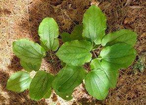 Biltmore Carrion Flower; Upright Smilax (Smilax biltmoreana) [1]