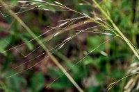 Blackseed Speargrass (Piptochaetium avenaceum)