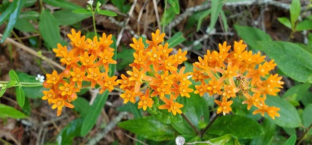 Butterfly Weed (Asclepias tuberosa) [1]