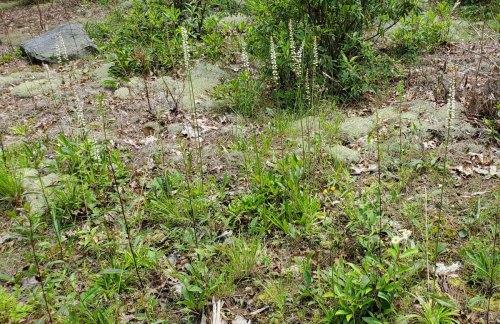 Colic-root; White Star Grass (Aletris farinosa)