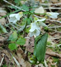Possibly Cut-leaved Toothwort (Cardamine concatenata)