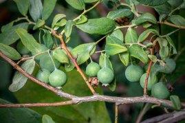Deerberry (Vaccinium stamineum) [2]