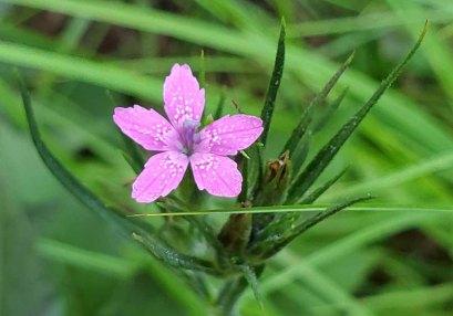 Deptford Pink (Dianthus armeria*) [4]