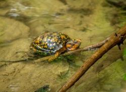 Eastern Box Turtle (Terrapene carolina carolina)
