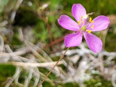Fameflower; Rock Portulaca (Phemeranthusteretifolius) [2]