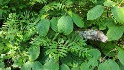 Hobble Bush (Viburnum lantanoides) & American Mountain Ash (Sorbus americana)