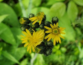King Devil; Field Hawkweed (Hieracium caespitosum*)