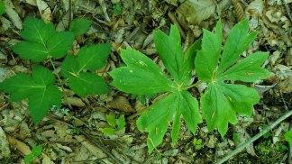 Filmy Angelica (Angelica triquinata) & May Apple; Mandrake (Podophyllum peltatum)