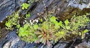 Mostly Grass-of-Parnassus (Parnassia asarifolia) & Michaux's Saxifrage (Micranthes petiolaris)