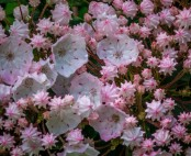 Mountain Laurel; Ivy (Kalmia latifolia)
