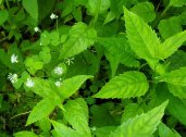 Mountain Meadow Rue; Lady Rue (Thalictrum clavatum) & a Turtlehead (Chelone sp.)