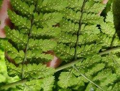Mountain Wood Fern (Dryopteris campyloptera) Sori