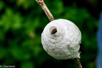 Oh - Maybe Paper Wasp not Golf Ball!