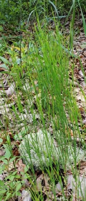 Orange Grass (Hypericum gentianoides) [2]