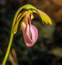 Pink Lady's Slipper; Moccasin Flower (Cypripedium acaule)