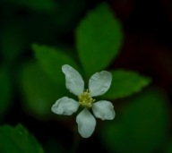 Possibly a Blackberry (Rubus sp.)