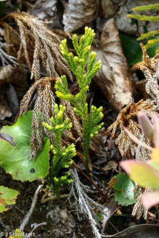 Possibly Pennsylvania Club Moss (Lycopodium hickeyi)