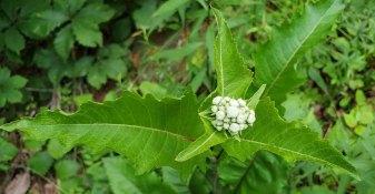 Wild Quinine; American Feverfew (Parthenium integrifolium) [2]