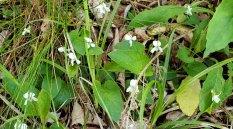 Primrose-leaved Violet (Viola primulifolia)