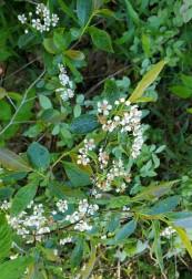 Probably Purple Chokeberry (Aronia X prunifolia) [arbutifolia x melanocarpa hybrid]