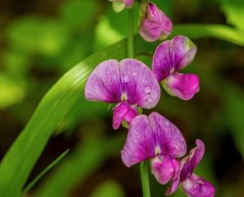Probably Sweetpea (Lathyrus odoratus*)