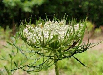 Queen Anne's Lace (Daucus carota*) [5]