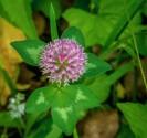 Red Clover (Trifolium pratense*)