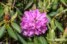 Catawba Rhododendron; Mtn. Rosebay (Rhododendron catawbiense)