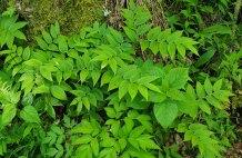 Rose Twisted Stalk; Rose Mandarin (Streptopus lanceolatus v. roseus)