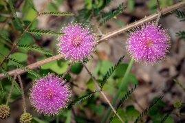 Sensitive Brier (Mimosa microphylla) [1]