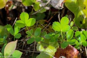 Wine-leaved Cinquefoil (Sibbaldiopsis tridentata)