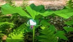 Southern Nodding Trillium (Trillium rugelii)