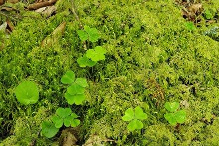 Splendid Feather Moss (Hylocomium splendens) & Mountain Wood Sorrel (Oxalis montana)