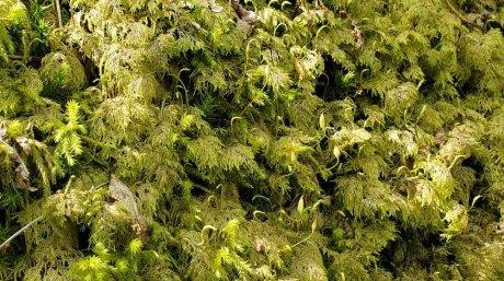 Splendid Feather Moss; Stair-step Moss (Hylocomium splendens)