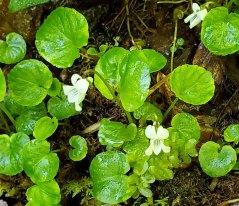 Sweet White Violet (Viola blanda)
