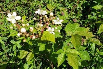Thornless Blackberry (Rubus canadensis)